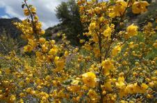 Šodien 3.jūnijs - manai mammītei vārda diena. Sūtu veselu krūmu ar dzelteniem ziediem!!! :)