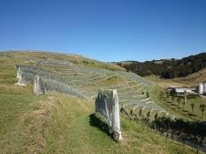 Esk Valley. Vīnogulāju rindas turpinās arī aiz kalna...
