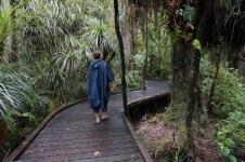 Vaipoua mežs - lielākais no atlikušajiem kauri koku mežiem.