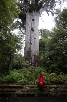 Mežu Dievs - lielākais dzīvais kauri koks.