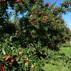 Rindās starp ābelēm ik pa noteiktam attālumam tiek novietotas tukšas kastes. Reizēm āboli kokos ir TIK daudz, ka tādu kasti piepildīt var pat no četriem kokiem..