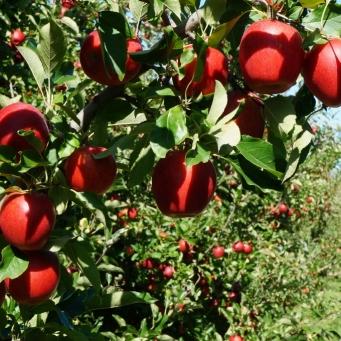 Āboli perfekti - apaļi, sarkani, noteiktā izmērā... Neticami, ka tie auguši dabīgi.