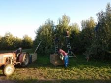 Visbriesmīgākie āboli bija Granny Smith. Tie paliks rūgtās atmiņās gan man, gan puišiem. Šajā milzīgajā blokā strādājām piecas dienas. Un pēdējā dienā mums viss bija tik ļoti apnicis, ka nolēmām palikt stundu ilgāk, lai bloku beidzot pabeigtu. Līdz ar rietošo sauli, puiši kopīgi lasa pēdējos kokus...
