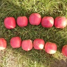 Color line. Pink Lady. Viena no briesmīgākajām krāsu līnijām, kāda mums tika uzlikta. Augšējā līnija ir labi āboli, apakšējā - slikti (nav pietiekami sarkani)... Ej nu tagad atrodi atšķirības!