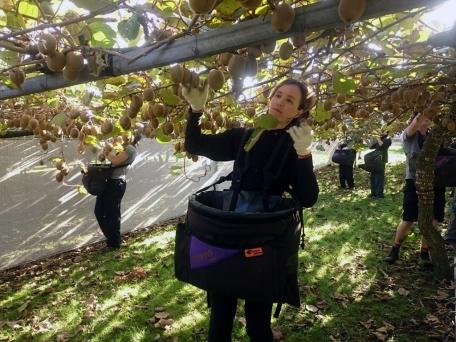 Lai varētu strādāt pie kivi novākšanas, augumam jābūt vismaz 1,70m. Tomēr dažos dārzos garākiem cilvēkiem bija tikai grūtāk - ar smago somu uz vēdera nav viegli strādāt salīkušam.