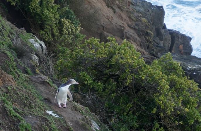 Pusceļā starp Oamaru un Dunedinu var apskatīt vēl pāris pingvīnu kolonijas. Vienā no tām sastapām arī pašus iemītniekus. Šeit uzbūvēta neliela būdiņa ar šauriem lodziņiem, caur kuriem vērot, kas notiek krastā.