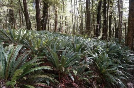 Paparžu paklājs sedz mežus takas zemākajos posmos.