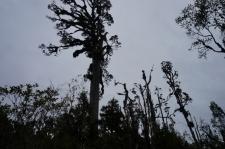 Varenie kahikatea slejas augstu virs pārējā meža.